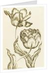 Double Oriflamme - Tulipa Gesneriana Multiplex by John Hill