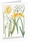 Illustrations of various Narcissi by Johann Wilhelm Weinmann