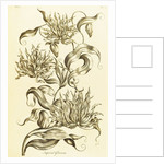 Imperial Gloriosa - Gloriosa superba by John Hill