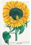 Chrysanthemum indicum flore et semine maximum by Johann Wilhelm Weinmann