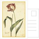 Tulip by Georg Dionysius Ehret