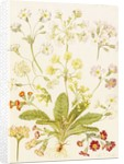 Polyanthus and Primroses by Maria Sibylla Merian