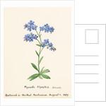 Myosotis alpestris. F.W. Schmidt. Forget Me Not by Sidney Eliza Forster