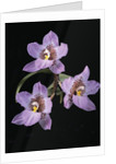 Lemboglossum cervantesii by Andrew McRobb