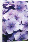 Hydrangea macrophylla. La Marne by Andrew McRobb
