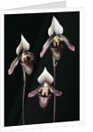 Paphiopedilum ciliolare by Andrew McRobb
