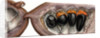 Afzelia africana enlarged by Rachel Pedder-Smith