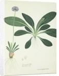 Primula denticulata by Nathaniel Wallich