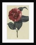 Camellia japonica var. by John Curtis