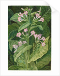 2. Common tobacco, 1870 by Marianne North