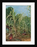 45. Harvesting the sugar cane in Minas Geraes, Brazil, 1880 by Marianne North