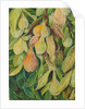 54. Cabazina pears, Brazil, 1880 by Marianne North