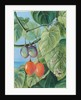 62. Foliage, flowers, and fruit of false tomato, painted in Brazil, 1880 by Marianne North