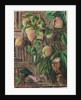 89. Peaches and humming birds, Brazil, 1880 by Marianne North