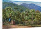 91. Papaw trees at Gongo, Brazil, 1880 by Marianne North