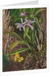 93. Brazilian orchids and other epiphytes, 1880 by Marianne North