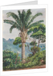 94. Oil palm at Tijuca, Brazil, 1880 by Marianne North