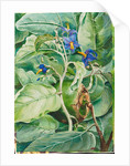 103. Foliage, flowers, and fruit of poma de lupa, Brazil, 1873 by Marianne North
