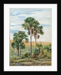 105. Buriti palms with old Araucaria trees on the distant ridge, Brazil, 1873 by Marianne North