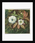 109. Foliage and Double Flowers of the Sandal-wood Bramble, 1872 by Marianne North