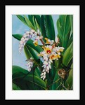 123. Foliage and flowers of Alpinia nutans, and a pair of doctor humming birds, Jamaica , 1872 by Marianne North