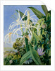 136. Pancratium caribaeum and a passion flower, Jamaica, 1872 by Marianne North