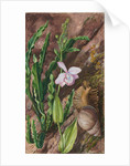 142. Ground orchid, carqueja and giant snail, Brazil, 1873 by Marianne North