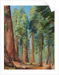 154. The Calaveras Grove of the big tree, or Wellingtonia, in the evening, 1875 by Marianne North