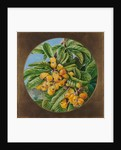 155. Foliage and fruit of the loquat, or Japanese medlar, Brazil, 1873 by Marianne North
