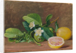 162. Foliage, flowers, and fruit of a variety of guava, 1878 by Marianne North