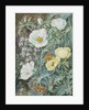 11. Mexican Poppies, Chilian Schizanthus and Insects. by Marianne North