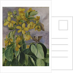 33. Flowers of Cassia corymbosa in Minas Geraes, Brazil. by Marianne North