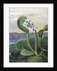 38. A Tropical American Water Plant. by Marianne North
