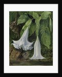 47. Flowers of Datura and Humming Birds, Brazil. by Marianne North