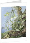 111. Jamaica Orchids growing on a branch of the Calabash tree. by Marianne North