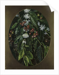 153. Foliage, flowers, and fruit of the Coffee, Jamaica. by Marianne North