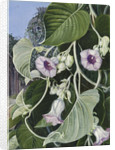 245. The Elephant Creeper of India. by Marianne North