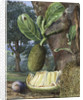 333. Jak Fruit, Singapore. by Marianne North