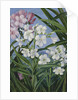 341. The Oleander. by Marianne North
