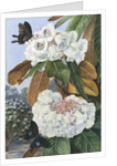 346. Rhododendron   Falconeri, from  the Mountains of North India. by Marianne North