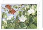354. White Convolvulus and Kaffirboom, painted  at Durban, Natal. by Marianne North