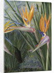 365. Strelitzia and Sugar Birds, South Africa. by Marianne North