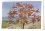 399. Brunsvigia multiflora, near Queenstown, South Africa. by Marianne North