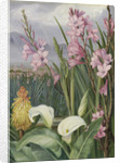 417. Beauties of the Swamps at Tulbagh, South Africa. by Marianne North