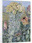437. Giant Everlasting and Protea, on the Hills near Port Elizabeth. by Marianne North