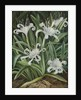 463. An Asiatic Pancratium, colonised in the Seychelles. by Marianne North