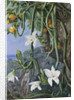 497. Native Vanilla hanging from the Wild Orange,. Praslin, Seychelles. by Marianne North