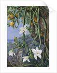 497. Native Vanilla hanging from the Wild Orange,. Praslin, Seychelles. by Marianne North