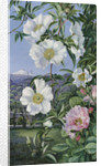 527. Cherokee Rose with the Peak of Teneriffe in the distance. by Marianne North