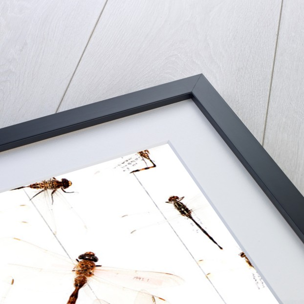 Drawer Of Dragonflies by Sara Porter